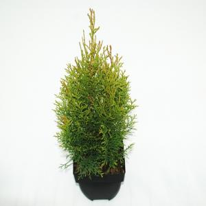 Westerse levensboom (Thuja occidentalis Smaragd) conifeer
