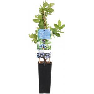 Blauwe honingbes C2 (lonicera caerulea Kamtschatica) fruitplanten