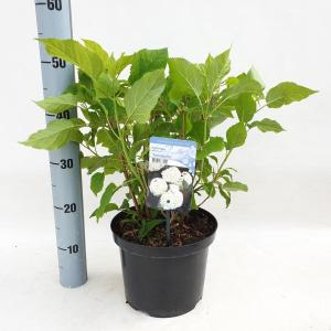 Hydrangea Arborescens Annabelle sneeuwbalhortensia - 40-50 cm - 1 stuks