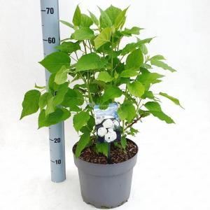 Hydrangea Arborescens Annabelle sneeuwbalhortensia - 50-60 cm - 1 stuks