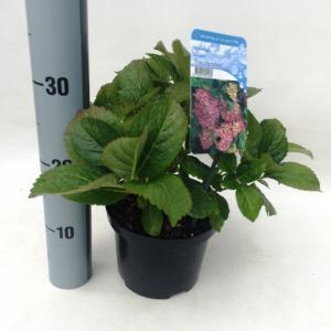 Hydrangea Macrophylla Freudenstein boerenhortensia