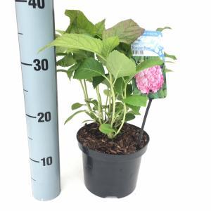 Hydrangea Macrophylla Bouquet Rose boerenhortensia