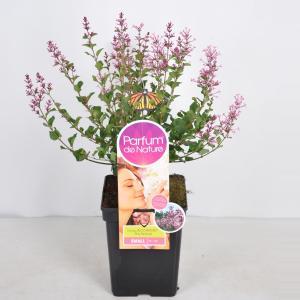 Dwergsering (syringa Bloomerang®Pink PerfumeParfume de Nature)