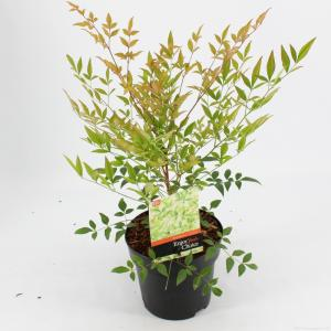 Hemelse bamboe (Nandina domestica) heester - 25-30 cm - 6 stuks