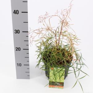 "Hemelse bamboe (Nandina domestica ""Filamentosa"") heester - 25-30 cm - 6 stuks"