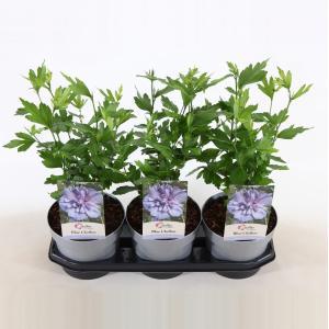Hibiscus syriacus Blue Chiffon - 40 cm - 3 stuks