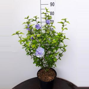 Hibiscus syriacus Blue Chiffon - 60 - 80cm - 5 stuks