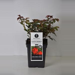 Trosroos (rosa Satchmo®) - C5 - 1 stuks