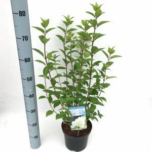 Hydrangea Paniculata Limelight® pluimhortensia - 25-30 cm - 1 stuks
