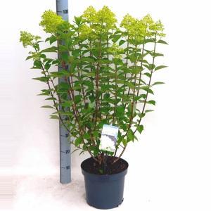 Hydrangea Paniculata Limelight® pluimhortensia - 30-40 cm - 1 stuks