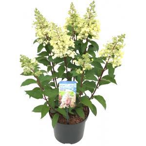 Hydrangea Paniculata Pinky Winky® pluimhortensia - 25-30 cm - 1 stuks