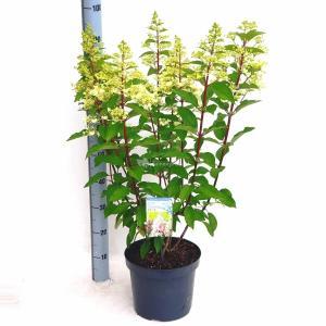 Hydrangea Paniculata Pinky Winky® pluimhortensia - 50-60 cm - 1 stuks