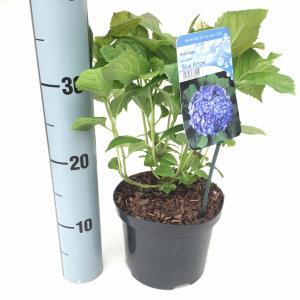 Hydrangea Macrophylla Blue Arrow boerenhortensia
