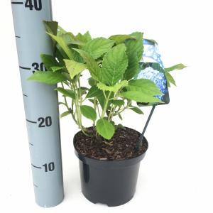 Hydrangea Macrophylla Nikko Blue boerenhortensia