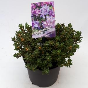 Dwerg rododendron (Rhododendron Impeditum) heester - 20-25 cm - 1 stuks