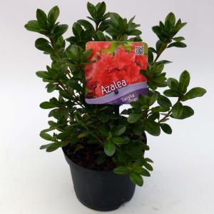Rododendron (Rhododendron Japonica Geisha Orange) heester - 12-20 cm - 8 stuks