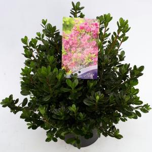 Rododendron (Rhododendron Japonica Geisha Purple) heester - 30-35 cm - 1 stuks