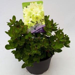 Dwerg rododendron (Rhododendron Shamrock) heester - 20-25 cm - 1 stuks