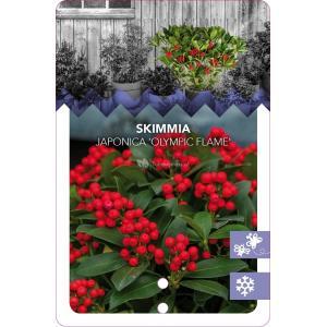 "Skimmia (Skimmia Japonica ""Olympic Flame"") heester - 20-25 cm (C2) - 6 stuks"