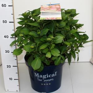Hydrangea Macrophylla Magical Harmony Roze® boerenhortensia - 40-50 cm - 1 stuks