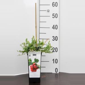 "Cranberry (vaccinium macrocarpon ""Pilgrim"") fruitplanten - 10 stuks"