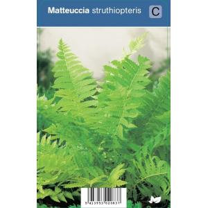 Bekervaren (matteuccia struthiopteris) schaduwplant - 12 stuks
