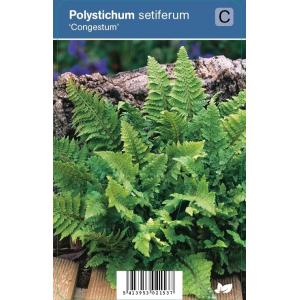 Naaldvaren (polystichum setiferum Congestum) schaduwplant - 12 stuks