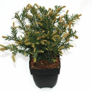 Kruipende taxus (Taxus baccata Repandens) conifeer