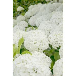 Hydrangea Arborescens Strong Annabelle® sneeuwbalhortensia