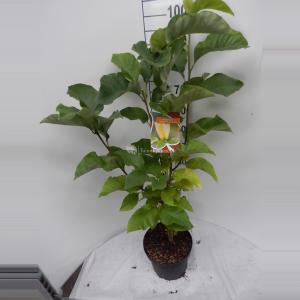 Magnolia struik Brooklynensis Yellow Bird - 80 - 100 cm - 6 stuks
