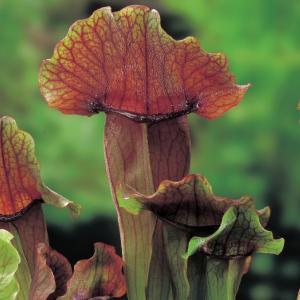 "Oranjebruine trompetbekerplant (Sarracenia ""Maroon"") moerasplant - 6 stuks"