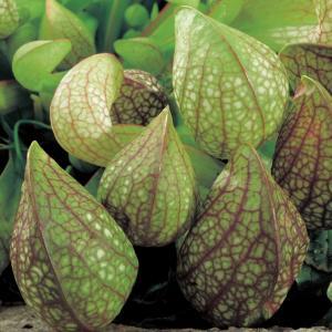 Papegaai bekerplant (Sarracenia psittacina) moerasplant - 6 stuks