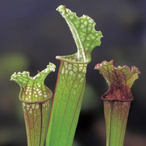 """Trompetbekerplant (Sarracenia """"Stevensii"""") moerasplant - 6 stuks"""
