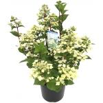 "Hydrangea Paniculata ""Wim's Red""® pluimhortensia"