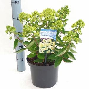 Hydrangea Paniculata Bombshell® pluimhortensia - 30-35 cm - 1 stuks