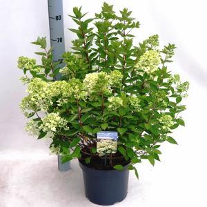 Hydrangea Paniculata Bombshell® pluimhortensia - 35-40 cm - 1 stuks