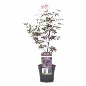 Japanse esdoorn (Acer palmatum Black Lace) heester