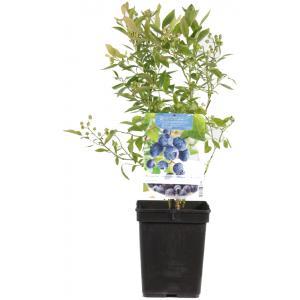 Bosbes (vaccinium corymbosum Goldtraube) fruitplanten - In 3.5 liter pot - 7 stuks