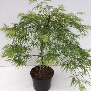 Japanse esdoorn (Acer palmatum Dissectum) heester - 30-40 cm - 1 stuks