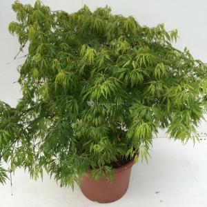 Japanse esdoorn (Acer palmatum Dissectum) heester - 60-70 cm - 1 stuks