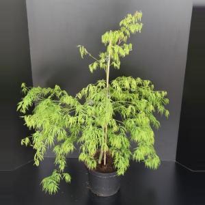 Japanse esdoorn (Acer palmatum Dissectum) heester - 60-80 cm - 1 stuks