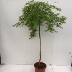 Japanse esdoorn (Acer palmatum Dissectum) heester - op stam 130 cm - 1 stuks