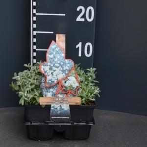 Hoornbloem (cerastium tomentosum) bodembedekker - 4-pack - 1 stuks