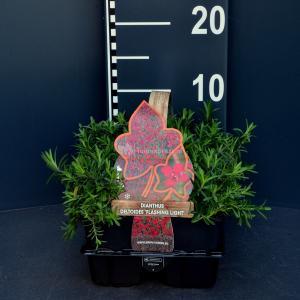 Steenanjer (dianthus deltoides Flashing Light) bodembedekker - 6-pack - 1 stuks