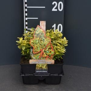 Kardinaalsmuts (euonymus fortunei Emerald 'n Gold) bodembedekker - 4-pack - 1 stuks