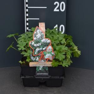 Ooievaarsbek (geranium cantabrigiense Biokovo) bodembedekker - 4-pack - 1 stuks
