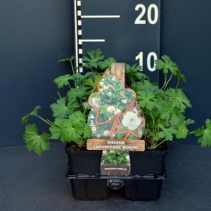 Ooievaarsbek (geranium cantabrigiense Biokovo) bodembedekker - 6-pack - 1 stuks
