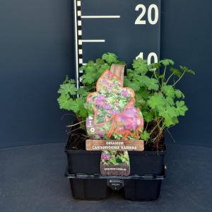 Ooievaarsbek (geranium cantabrigiense Karmina) bodembedekker - 6-pack - 1 stuks