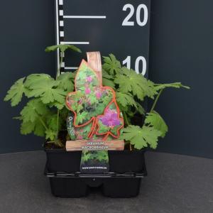Ooievaarsbek (geranium macrorrhizum) bodembedekker - 4-pack - 1 stuks