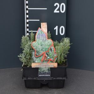 Lavendel (lavandula angustifolia Hidcote) bodembedekker - 4-pack - 1 stuks